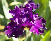 Violet iris Royalty Free Stock Images