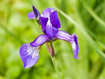 Violet Iris Stock Photo