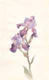 Violet Iris Watercolor Painting Royalty Free Stock Photography