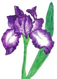 Violet iris with white. Spots on white background, vertical, watercolor painting Royalty Free Stock Image
