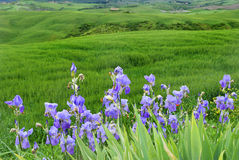 Violet irises on  a background of green hills. Violet irises and leaves on  a background of green  Tuscany hills Stock Photo