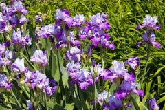 Violet irises Royalty Free Stock Image