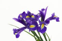 Violet Irises, Knolleniris, Iris sibirica auf weißem Hintergrund Ein Blumenstrauß der purpurroten Iris blüht, Nahaufnahme auf ein Lizenzfreies Stockfoto