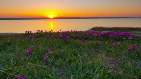 Violet Irises on the Meadow. Violet Irises on the Meadow at Sunset. TimeLapse. 4K stock footage