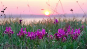 Violet Irises on the Meadow. Violet Irises on the Meadow swaying in the Wind at Sunset stock video