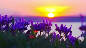 Violet Irises on the Meadow. Violet Irises on the Meadow swaying in the Wind at Sunset stock video footage
