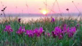 Violet Irises no prado video estoque