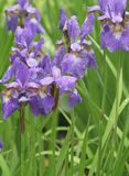 Violet irises in park Stock Photography