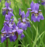 Violet irises in park Stock Photo