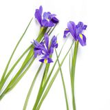 The Violet Irises xiphium Bulbous iris, Iris sibirica on white background with space for text. Top view, flat lay. Holiday greet. Violet Irises xiphium Bulbous Stock Photography