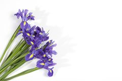 The Violet Irises xiphium Bulbous iris, sibirica on white background with space for text. Top view, flat lay. Holiday greeting c. Violet Irises xiphium Bulbous Royalty Free Stock Photo