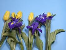 Violet Irises-xiphium Knolleniris, Iris sibirica mit gelber Tulpe auf blauem Hintergrund mit Raum für Text Lizenzfreies Stockbild