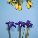Violet Irises-xiphium Knolleniris, Iris sibirica mit gelber Tulpe auf blauem Hintergrund mit Raum für Text Lizenzfreie Stockbilder