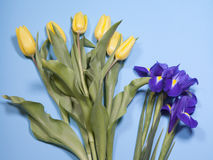 Violet Irises-xiphium Knolleniris, Iris sibirica mit gelber Tulpe auf blauem Hintergrund mit Raum für Text Stockbild