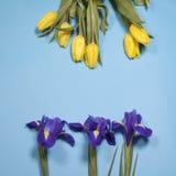 Violet Irises-xiphium Knolleniris, Iris sibirica mit gelber Tulpe auf blauem Hintergrund mit Raum für Text Lizenzfreie Stockfotos