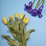 Violet Irises-xiphium Knolleniris, Iris sibirica mit gelber Tulpe auf blauem Hintergrund mit Raum für Text Stockfotografie