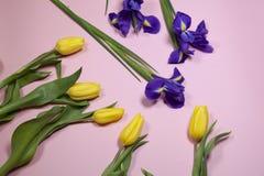 Violet Irises-xiphium Knolleniris, Iris sibirica mit gelber Tulpe auf rosa Hintergrund mit Raum für Text Lizenzfreies Stockfoto