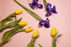 Violet Irises-xiphium Knolleniris, Iris sibirica mit gelber Tulpe auf rosa Hintergrund mit Raum für Text Lizenzfreie Stockbilder
