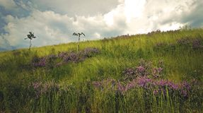 Violet islands of meadow flowers. royalty free stock photos