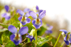 Violet isolated Stock Image