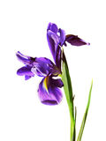 Violet isolated flower iris Stock Photo