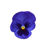 Violet isolated on white background Royalty Free Stock Images