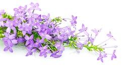 Violet Ixora Stock Image