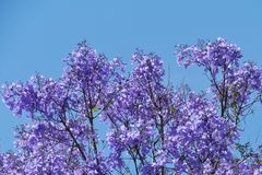 Violet Jacaranda tree opposite a blue sky Stock Image