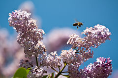 Violet jasmine with a bee Royalty Free Stock Image