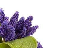 violet, kwiat Obraz Royalty Free