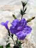 violet, kwiat Obraz Stock