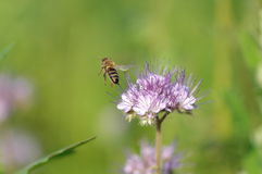 Violet lacy phacelia. Blossoms with a bee flying away Stock Images
