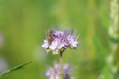 Violet lacy phacelia. Blossoms with a honey bee Royalty Free Stock Images