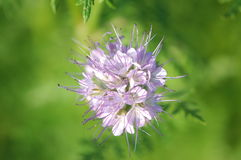 Violet lacy phacelia. Fresh violet lacy phacelia blossom from above Stock Images