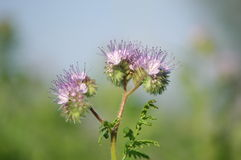 Violet lacy phacelia Royalty Free Stock Image