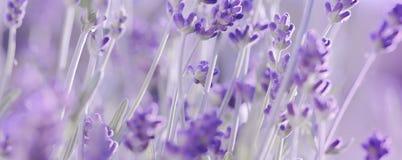Violet Lavender-bloemenachtergrond Royalty-vrije Stock Afbeelding