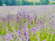 Free Violet Lavender Field Blooming In Summer Sunlight. Sea Of Lilac Flowers Landscape In Provence, France. Bunch Of Scented Flowers Of Stock Photos - 179569813