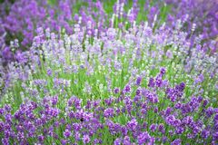 Violet lavender field with fresh  flowers blossomsand bee. Blurry background. Stock Photos