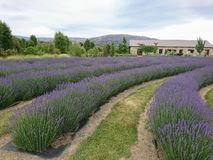 Violet lavender field in the garden. New Zealand landscape background Royalty Free Stock Photo