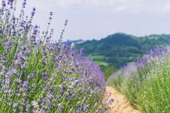 Violet lavender field in Italy. Stock Photography