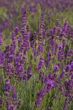 Violet lavender field in Provence Stock Photos