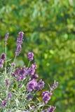 Violet Lavender fiorisce lo spazio della copia Immagini Stock