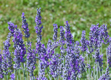 Violet Lavender Flowers Royalty Free Stock Photography
