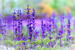 Violet lavender flowers on blurred background. Violet lavender flowers on a green blurred background Royalty Free Stock Photography