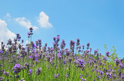 Lavender flowers in the field Royalty Free Stock Photos