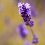 Violet lavender in garden Royalty Free Stock Photography