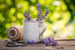 Violet lavender preparation for home drying in green garden. On wooden table royalty free stock photo
