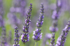 Violet lavenders Stock Image