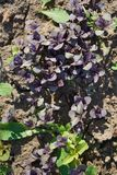 Violet laves of basil. Carved leaves. Royalty Free Stock Images