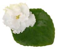 Violet with leaf Stock Image
